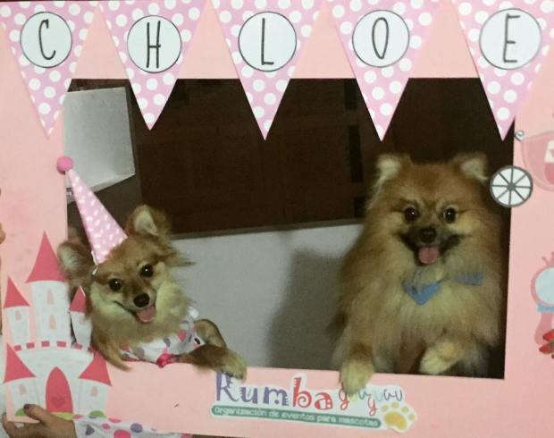 pomeranian dog mascotas perro peru fiesta